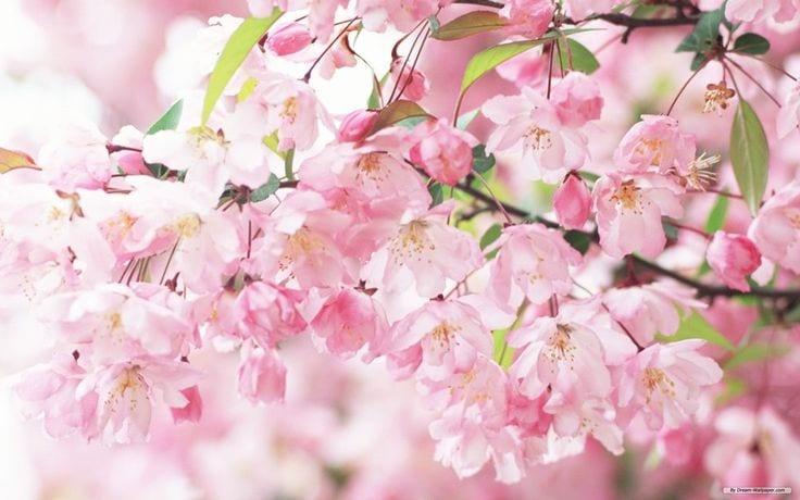 Isabelle Caratti: Mein Bild ist rosarot und meine Realität fühlt sich gemütlich und entspannt an. Kirschblüten.