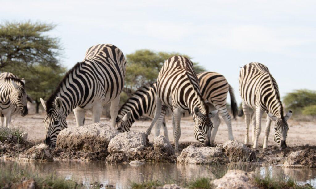 Zebras und Giraffen am Wasserloch